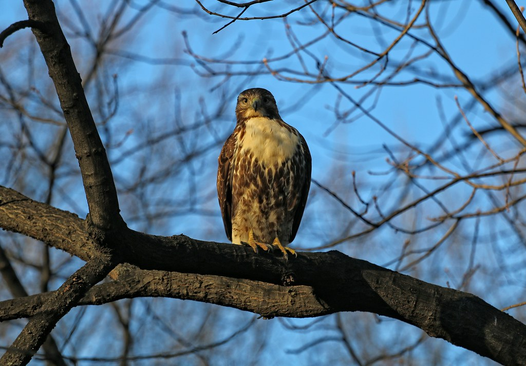 Juvenile red tail in Tompkins Square