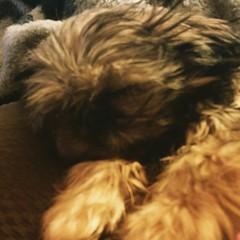 So sleepy after getting my shots.   #dog #shihtzu #pet #pets #dogoftheday #shihtzulovers #mydog #shihtzusofinstagram #instadog #instagramdogs #dogphotography #dogsagram #puppy #dogsofinstagram #ilovemyshihtzu #shihtzunation #instacute #dogoftheday #puppyl