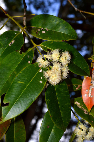 Syzygium angophoroides DSC_0952 (3)-001