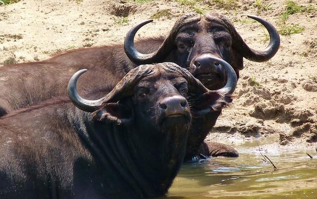 Búfalos bañándose en Sabi Sand (Parque Nacional Kruger de Sudáfrica)