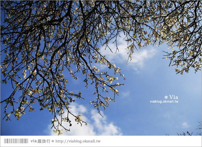 【南投梅花秘境】仁愛鄉「西伯梅園」~和互助國小梅園來個賞梅一日遊17