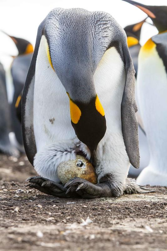 King Penguin Hatching