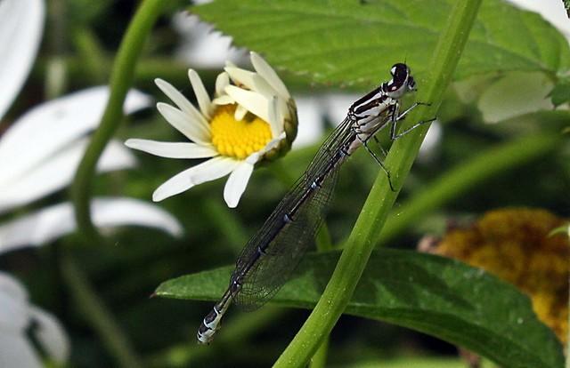 Azure Damselfly (Coenagrion puella)  (f)