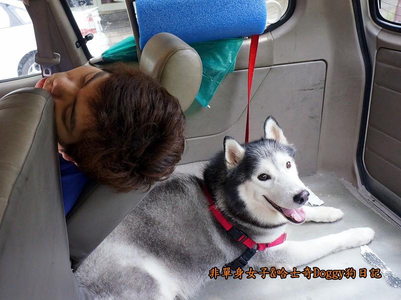 哈士奇Doggy2013陽明山二子坪25