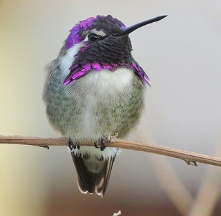 Costa's hummingbird,  Calypte costae.