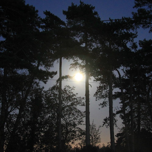 Moon through the pine trees