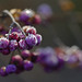 Frosted Berries by Sun Dogs & Daylilies
