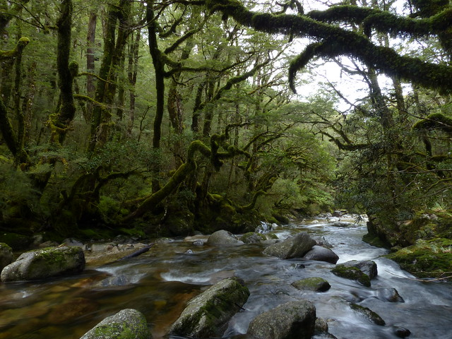 High altitude beech forest, Rahu River, Victoria Forest ...