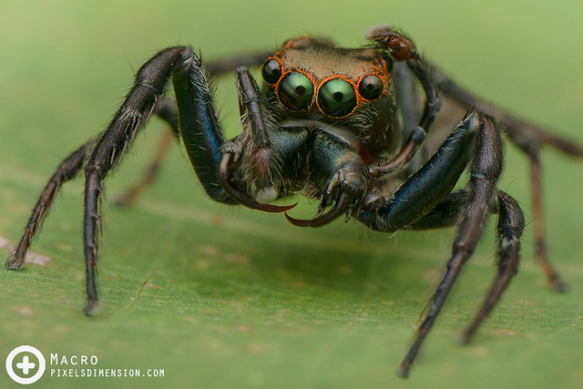 Great Wide-Jawed Jumper- Parabathippus magnus ♂