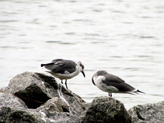 Sea Gull Harkers Island NC 3752
