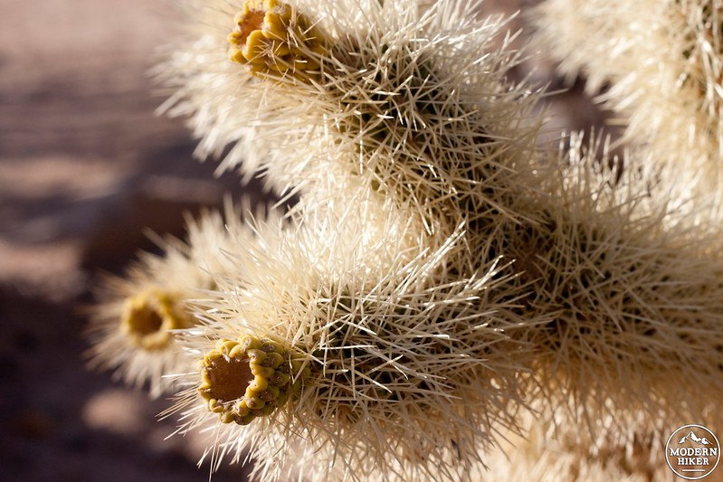 Close Up on a Cholla
