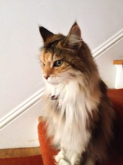 domestic long-haired cat, animal, maine coon, small to medium-sized cats, pet, mammal, siberian, cat, whiskers,