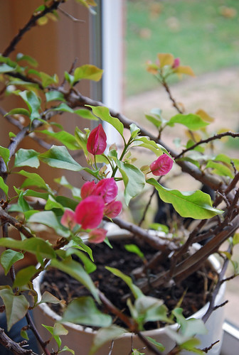 Bougainvillea new growth after coming indoors