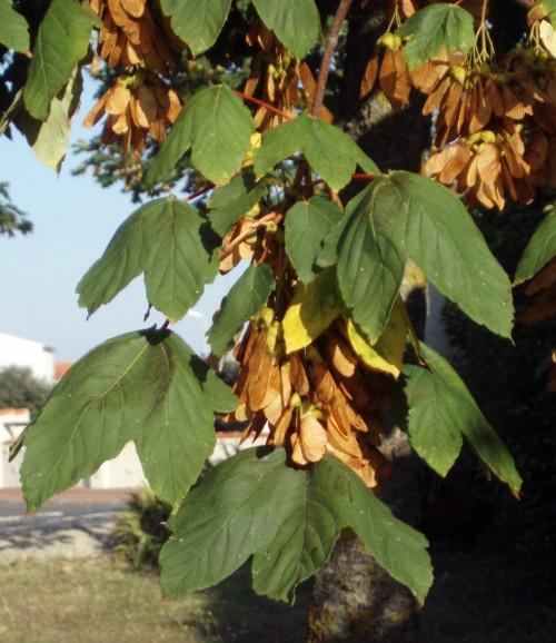 Acer pseudoplatanus 15965504622_144520f5a5_o