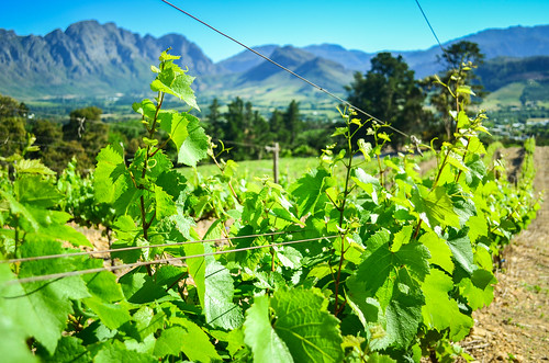 Vinyards of South Africa