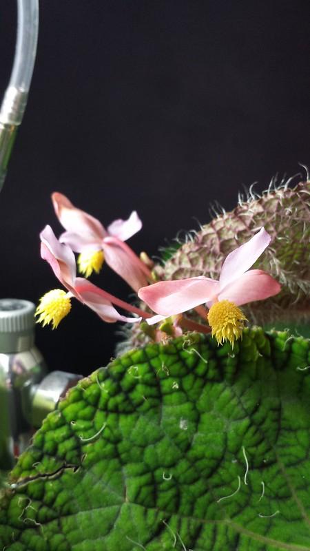 Petite collection de Begonia 16051839639_27e865a7c8_c