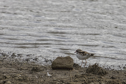 Black-fronted Dotterel 2015-01-18 (_MG_0746)