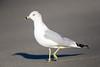 Ring-billed Gull by rhysmarsh