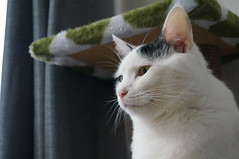 nose, animal, turkish van, khao manee, small to medium-sized cats, pet, mammal, turkish angora, cat, whiskers, manx, domestic short-haired cat,