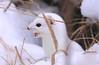 Short-tailed Weasel (Ermine) SaxZim Bog, MN