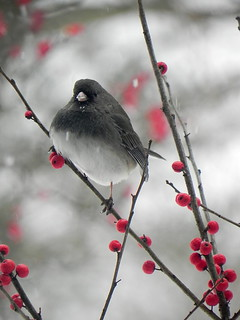 Junco and winterberry