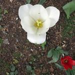 municipal tulips