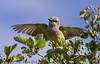 Juvenile Western Kingbird take off