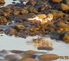 Snowy Plover Malibu Lagoon 1606