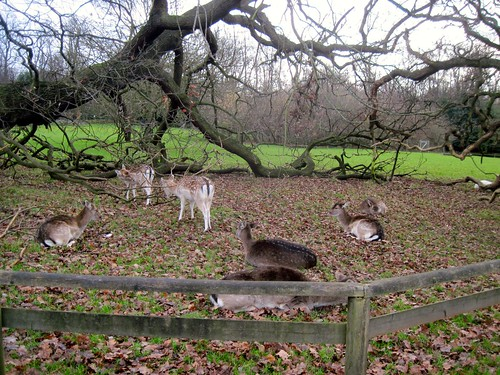 Deer in Golders Green Park