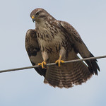 Buzzard October 31, 201415.jpg