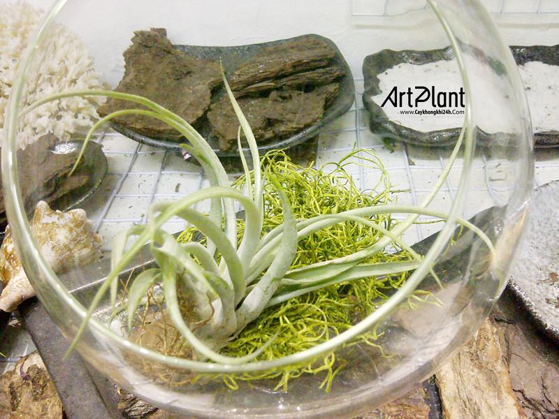 art plant | cay khong khi | tieu canh khong khi | terrarium | khong khi tuyet son