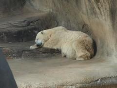 grizzly bear(0.0), animal(1.0), polar bear(1.0), mammal(1.0), fauna(1.0), bear(1.0), wildlife(1.0),