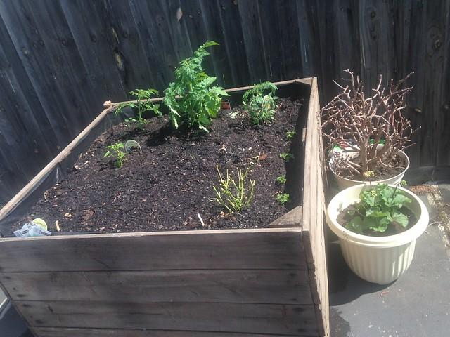tomato planting in Garden by davidjmicallef