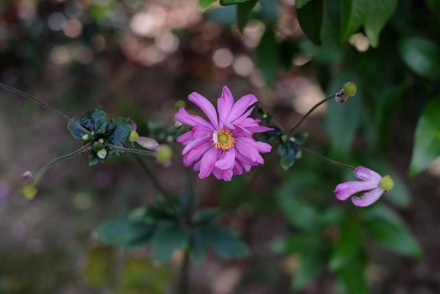 efemer virág
