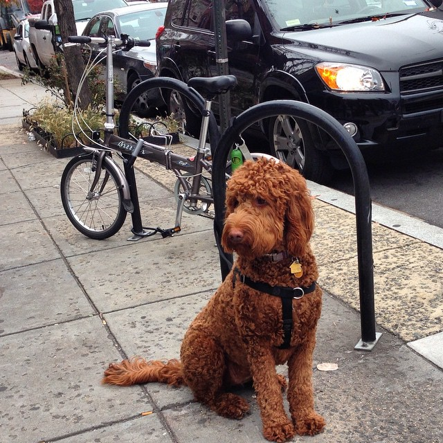 Locked next to the labradoodle #igdc #bikedc