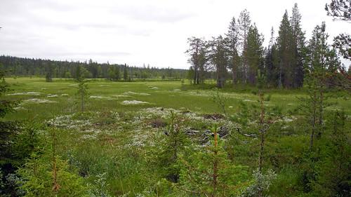 summer plants plant forest finland landscape geotagged ks july fin bog salla 2014 cyperaceae koillismaa 201407 trichophorum trichophorumalpinum 20140718 geo:lat=6671087045 geo:lon=2843244553
