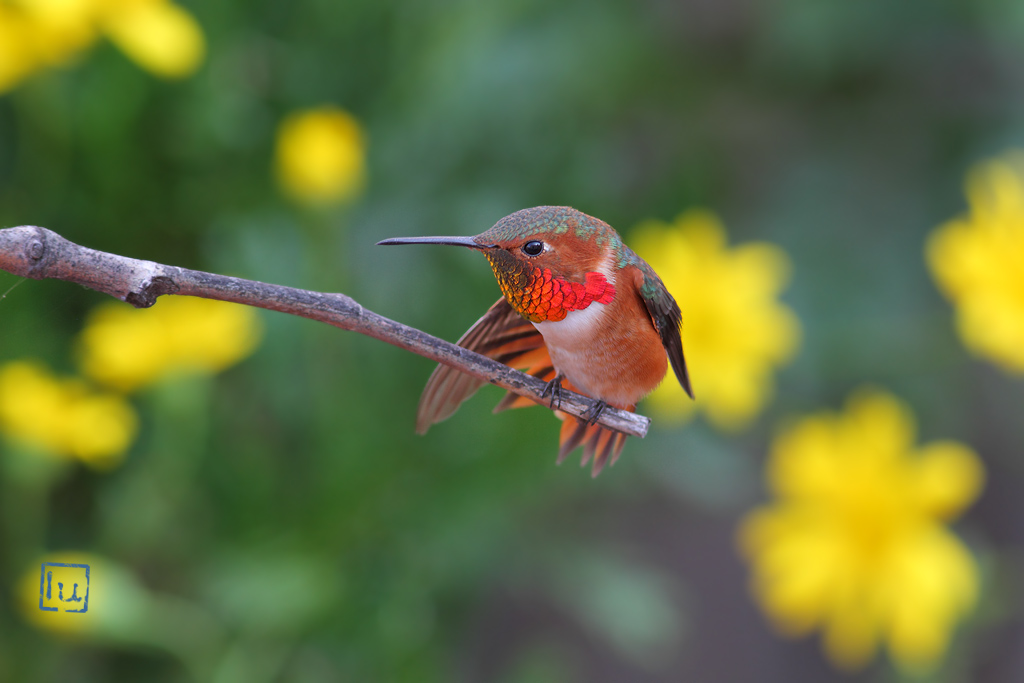 Allen's Hummingbird-1114-2
