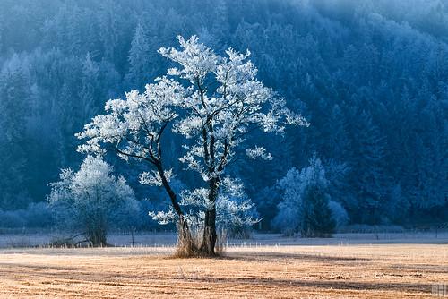 winter tree landscape austria frost hoar vorarlberg ried frastanzerried franstanz