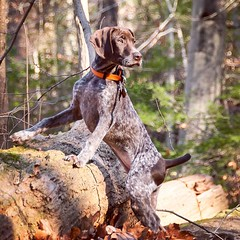 Piper looking very thoughtful on our hike last weekend. (See, @steeplechasegirl ? She DOES stand still every now and then!!) #gsp #puppy #pointer #gspoftheday #latergram #puppygram