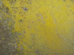 Caloplaca citrina an Metallbottich