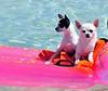 Chihuahuas en el mar