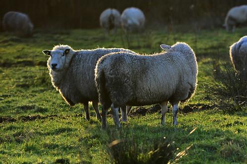 light sunset sunlight green sheep 日落 光 綿羊 陽光 羊群 光線