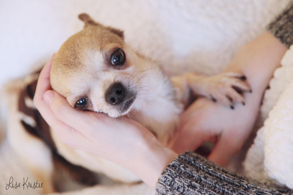 chihuahua adult male smooth coat short haired beige cream tan brown black white closeup face on lap adorable cute tiny dog small paw on hand