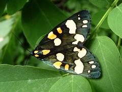 Ecaille rouge - Scarlet Tiger Moth