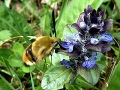 Sphinx-bourdon - Narrow bordered Bee Hawkmoth