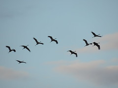 Sandhill Cranes Migrating