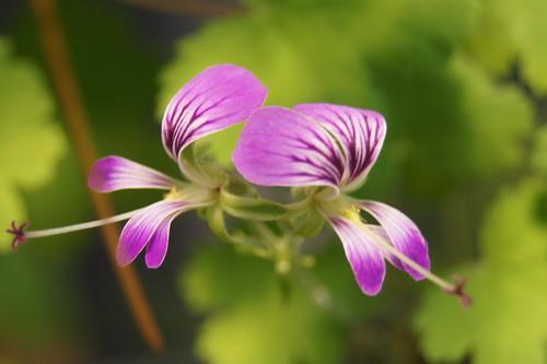 P. antidysentericum subsp. antidysentericum, flower
