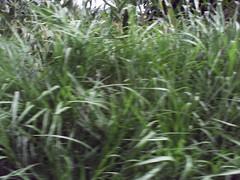 flower(0.0), field(0.0), chrysopogon zizanioides(0.0), phragmites(0.0), crop(0.0), lawn(0.0), plant stem(0.0), agriculture(1.0), sweet grass(1.0), grass(1.0), plant(1.0), herb(1.0), hierochloe(1.0), flora(1.0), green(1.0), meadow(1.0),