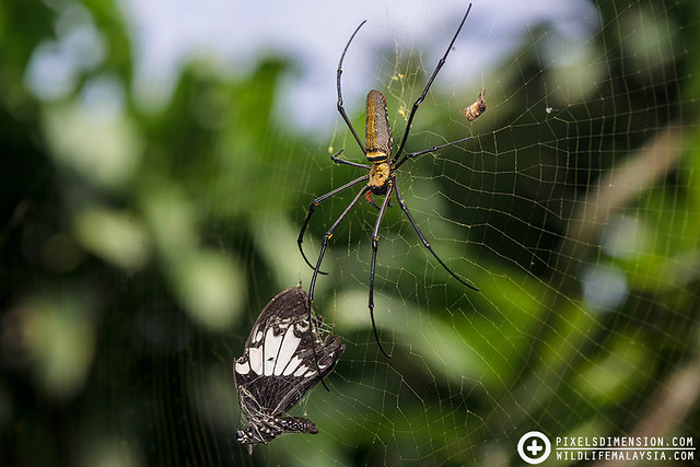 Giant Golden Web Spider and a butterfly prey- Nephila pilipes ♀