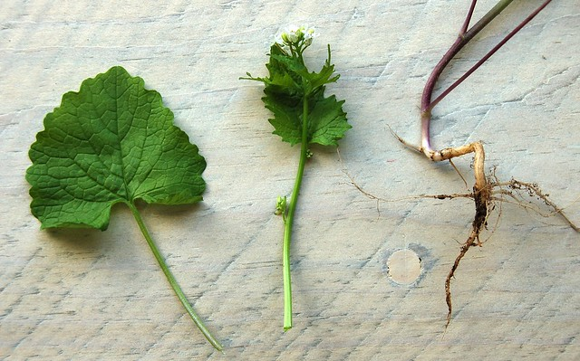 Garlic mustard green leaf, flower and root by Eve Fox, the Garden of Eating, copyright 2016